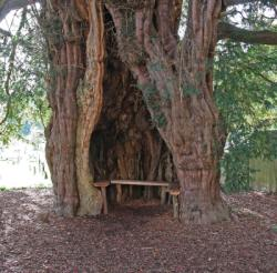 Ancient yew tree much marcle