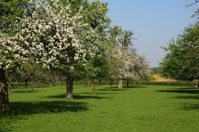 Traditional orchard at Awnells Farm